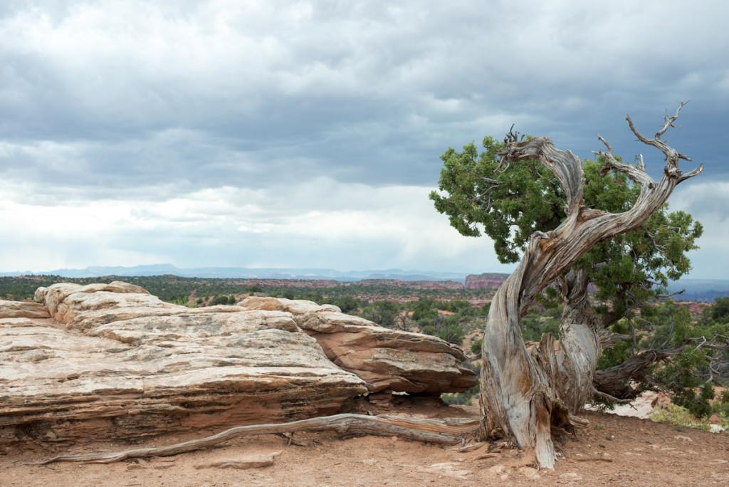 osamělý strom, NP Canyonlands