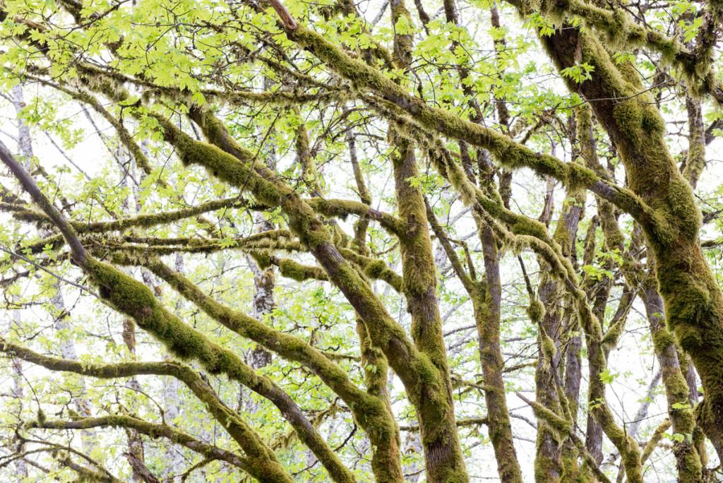 Koruny stromů v Olympijském NP