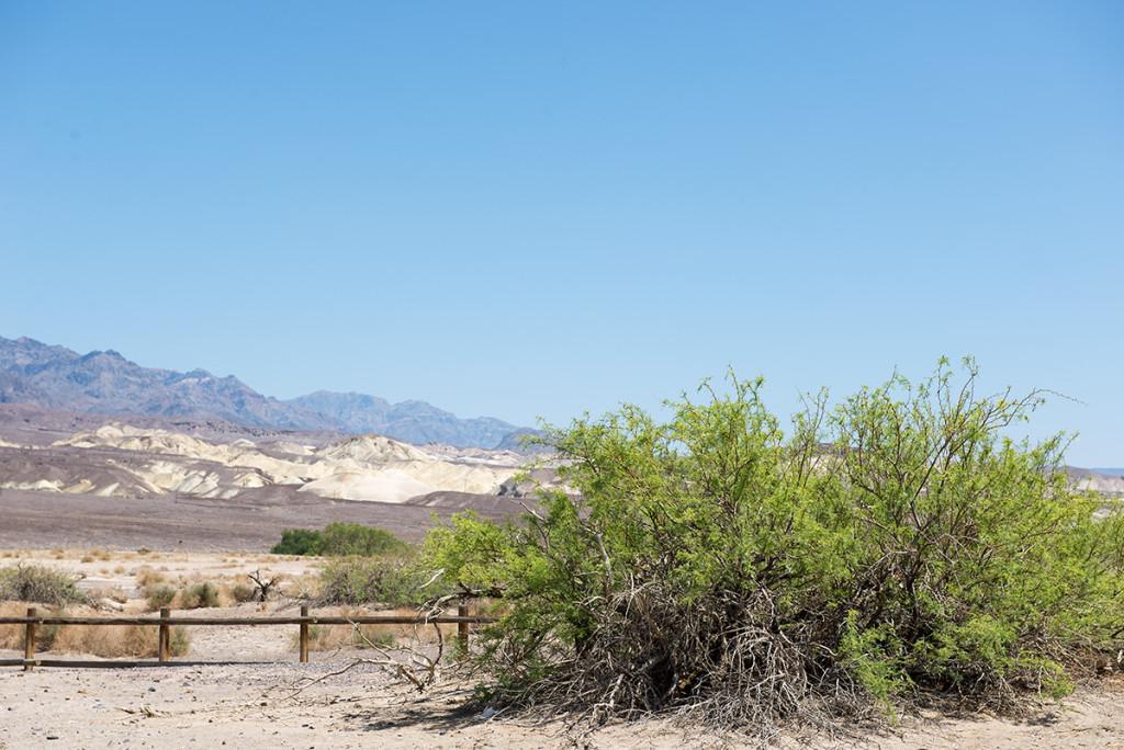 zelený keř v Údolí smrti