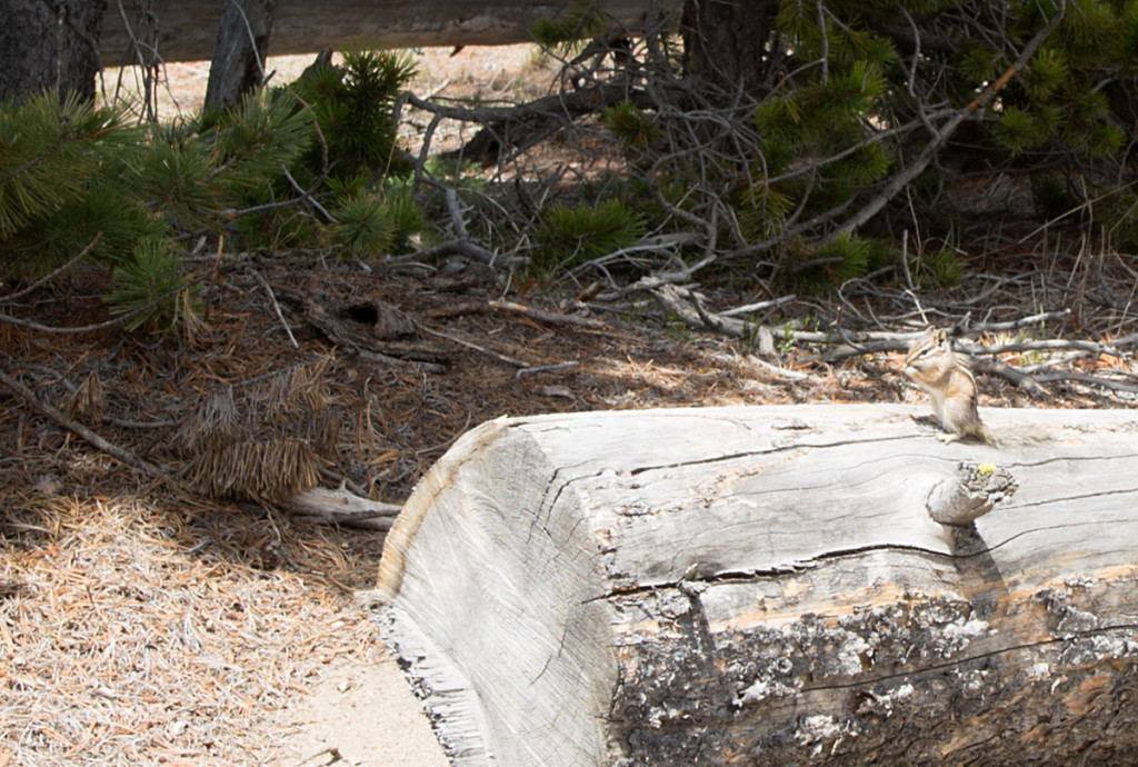 chipmunk-near-west-thumb-yellowstone-np