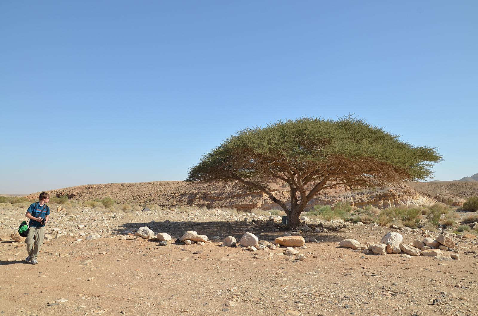 osamělý strom vprostřed pouště, Negevská poušť, Izrael
