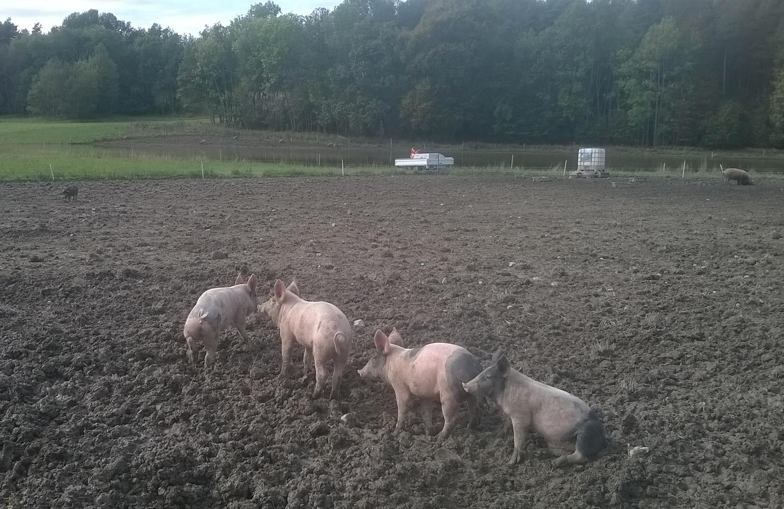 Organická bioprasátka na farmě v norsku