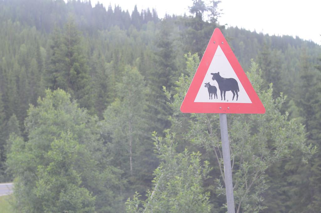 ovce na silnici v norsku