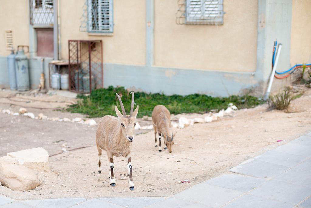 nubian-ibex