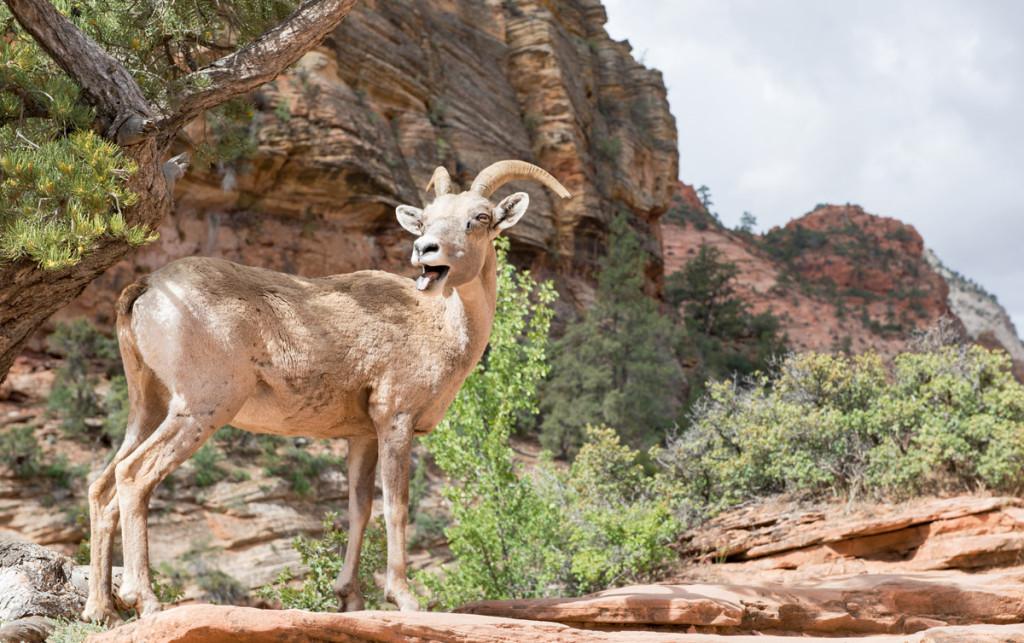 Horská koza, Zion NP