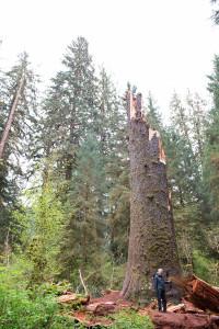 Zlomený smrk Sitka v Olympijském národním parku