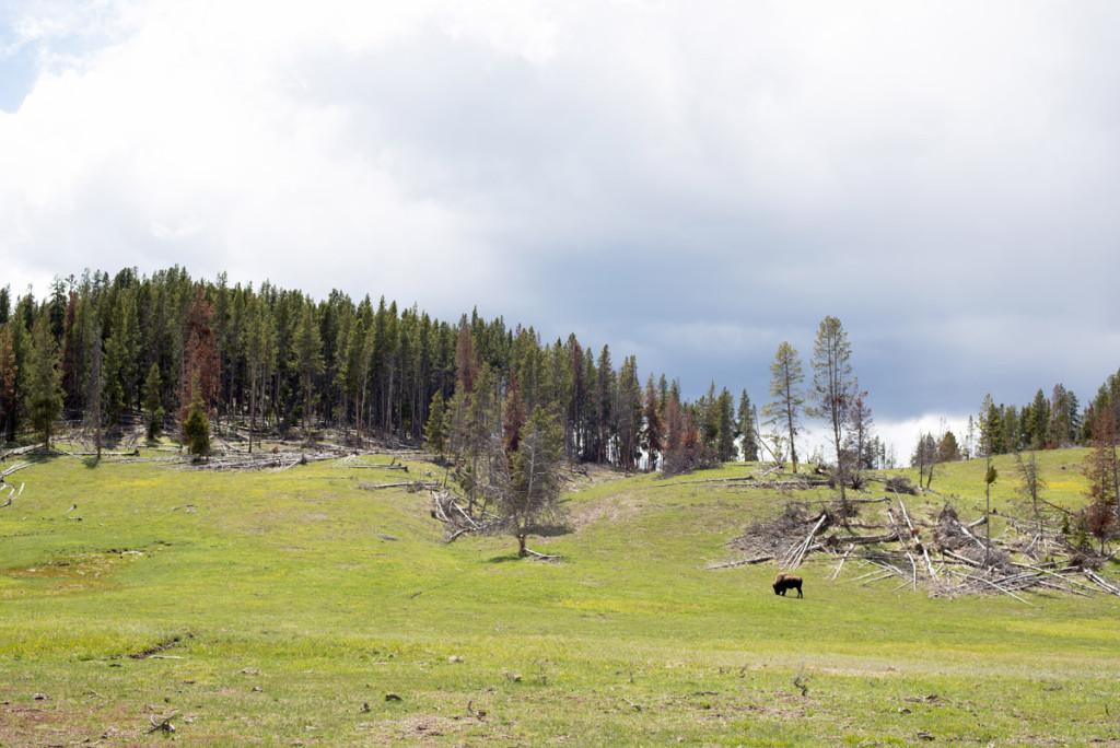 Bizon vprostřed Yellowstonského NP