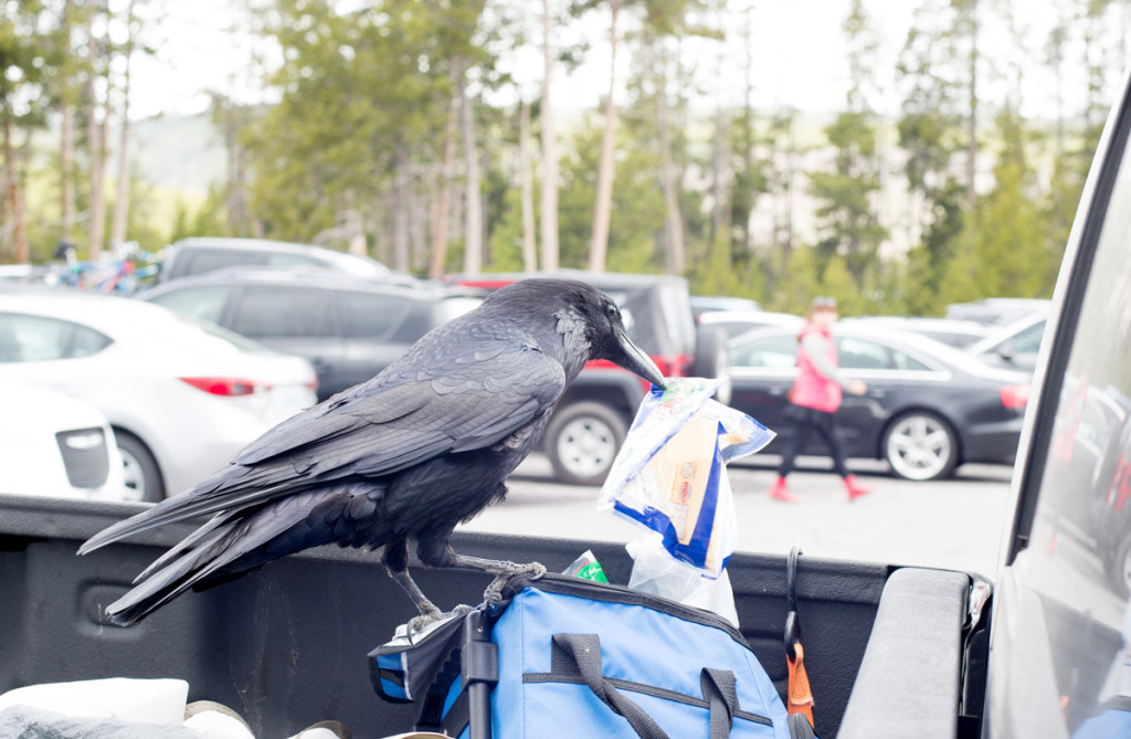 digforfree.com mini yellowstone-national-park-old-faithful-geyser-parking-lot-raven-steals-human-food-III-DSC_2039
