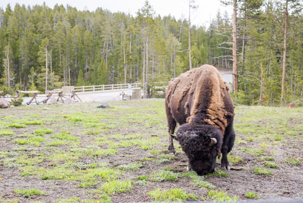bizon u silnice v Yellowstonském NP