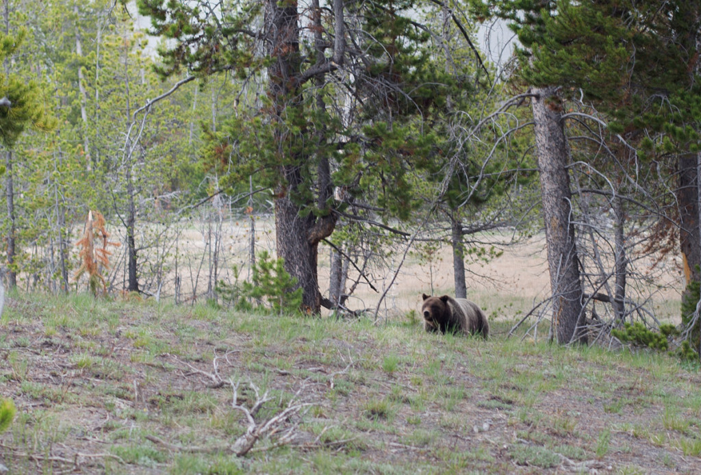 Grizzly Yellowstonský NP