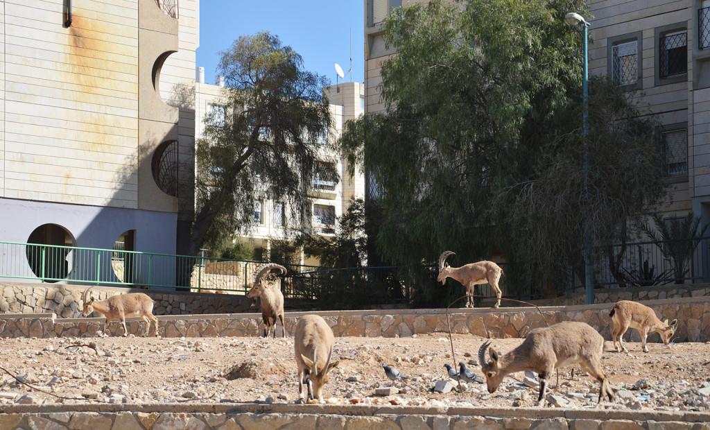 Nubijští kozorožci pasoucí se na bůhvíčem, Mitzpe Ramon, Izrael