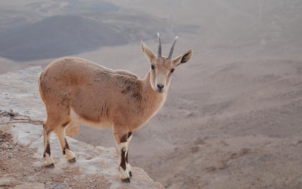 Kozorožec Nubijský na hraně Ramonského kráteru, Mitzpe Ramon, Izrael