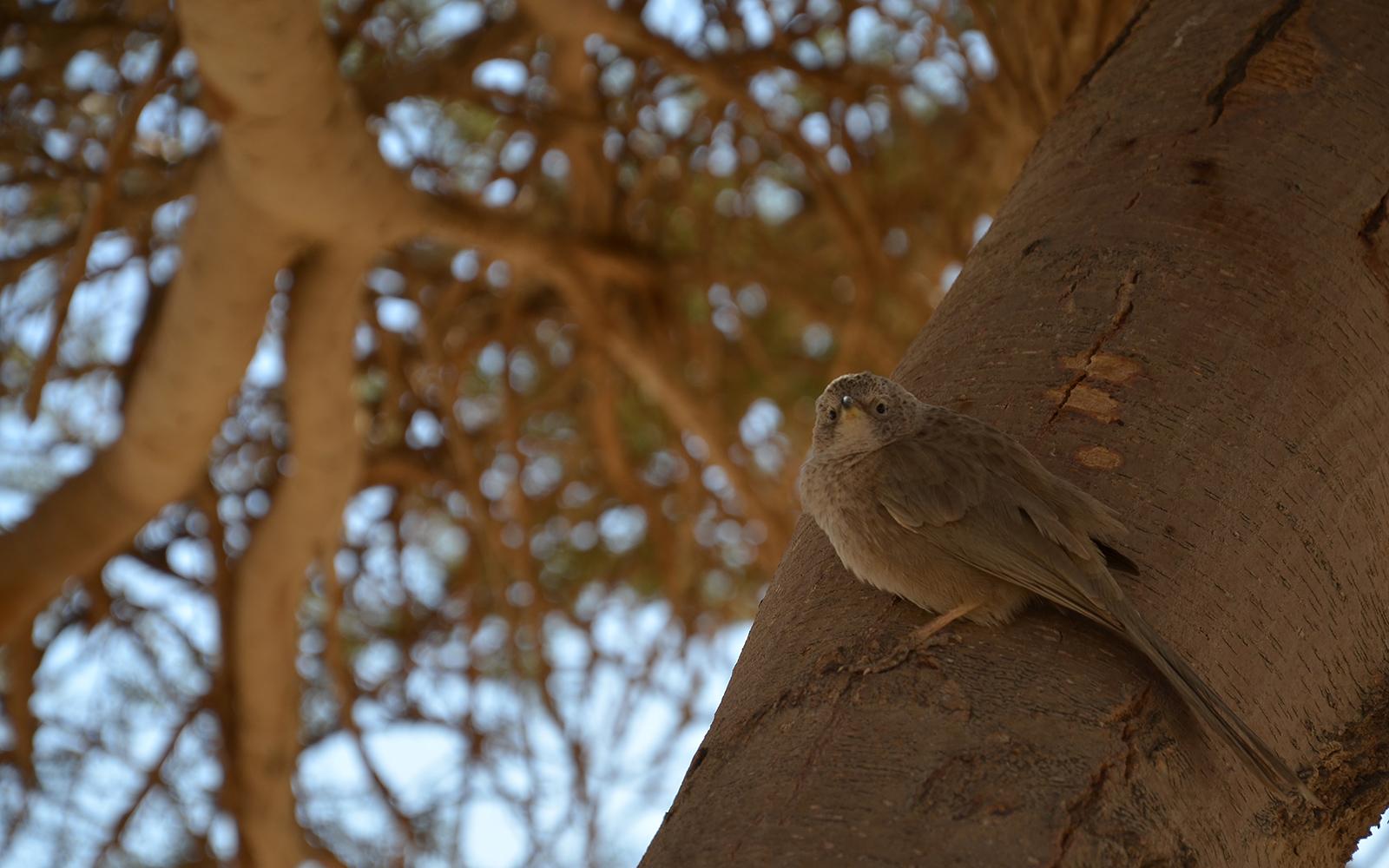opeřený obyvatel pouště, Negevská poušť, Izrael