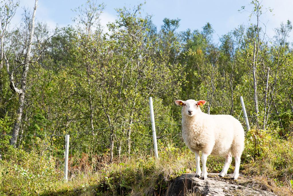 Ovce na Lofotech