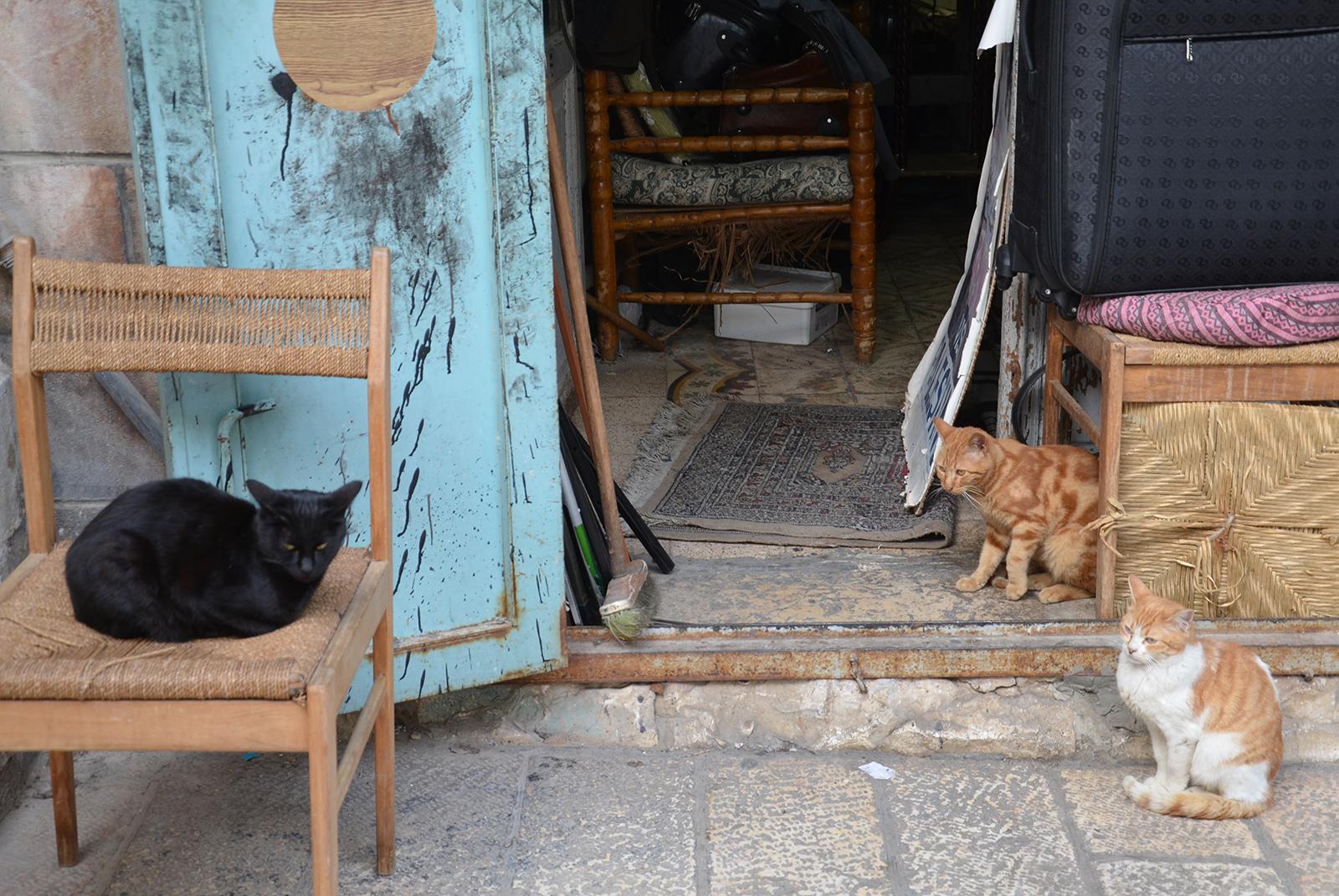 kočky, místní ochočené šelmy, Jeruzalém, Izrael