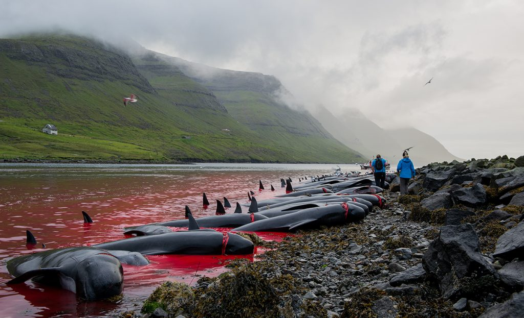 whale killing in Faroe Islands