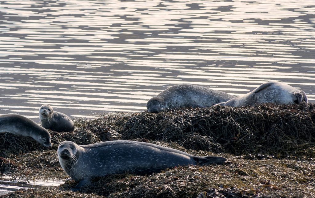 group-of-seals-in-iceland-westfjords