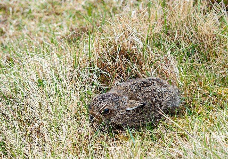 Rabbit in Faroe islands