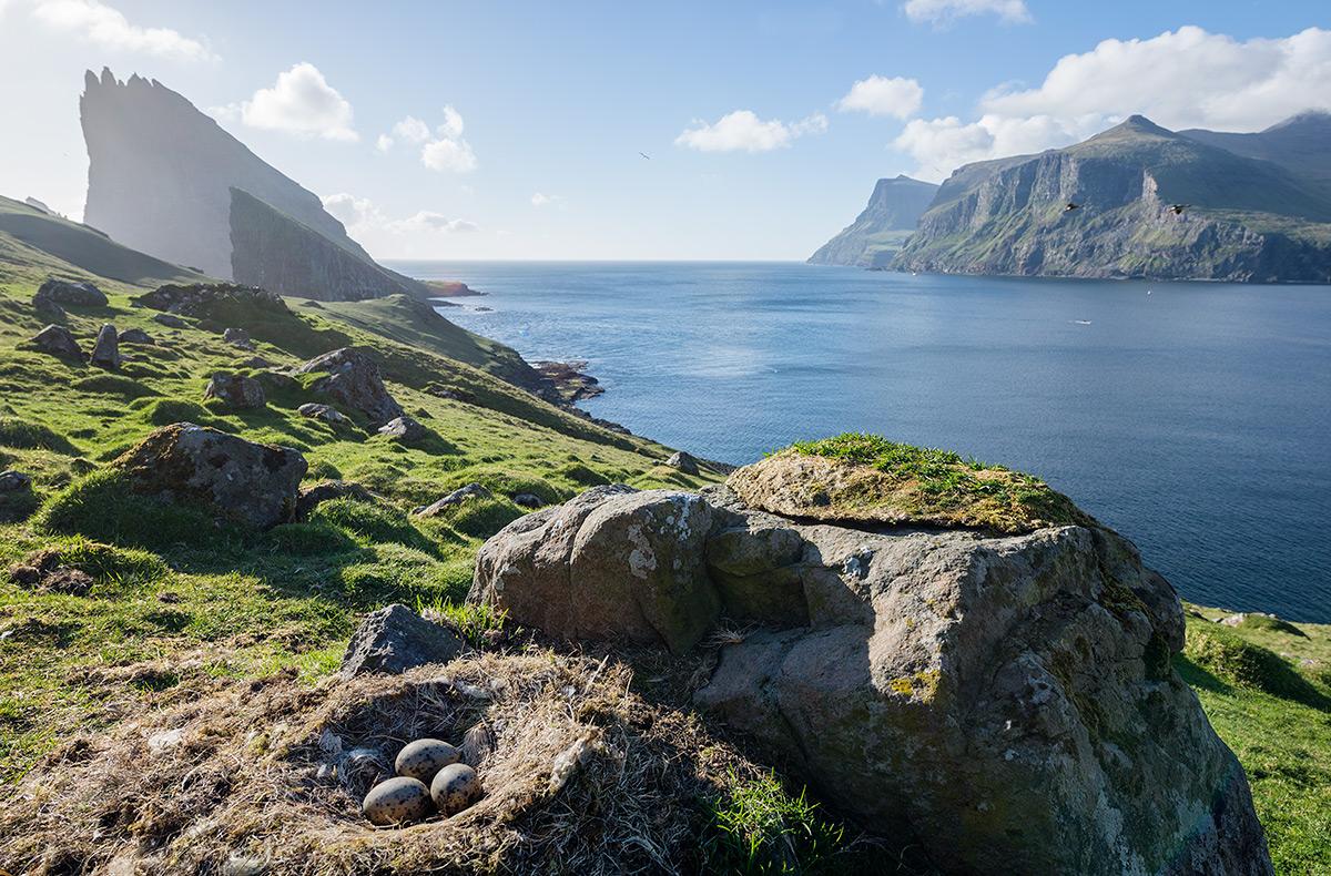 Bird eggs in Faroe Islands